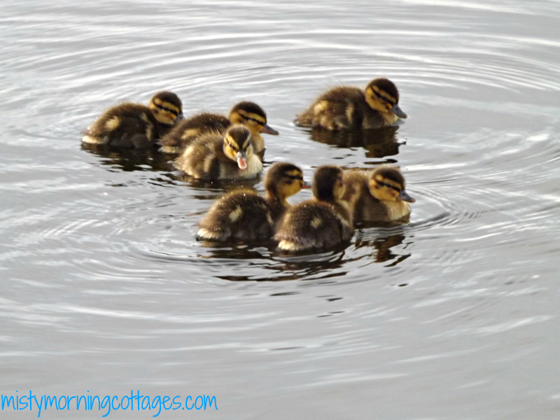 Ducklings at Misty Morning Cottages