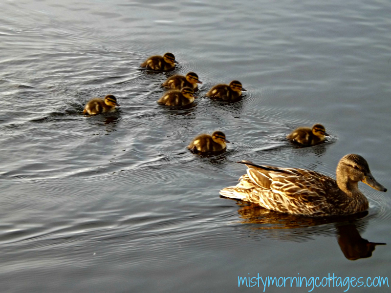 Momma Duck and Ducklings at Misty Morning Cottages